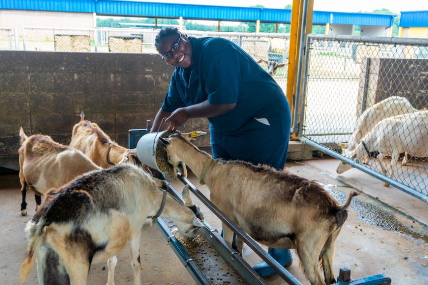 University students' research seeks healthier solutions to sustain goat farms